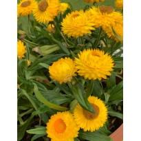 Zeolith für gesunde Blumen - das besondere Urgesteinsmehl